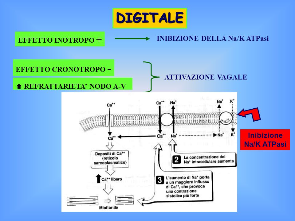 DIGITALE EFFETTO INOTROPO + INIBIZIONE DELLA Na/K ATPasi