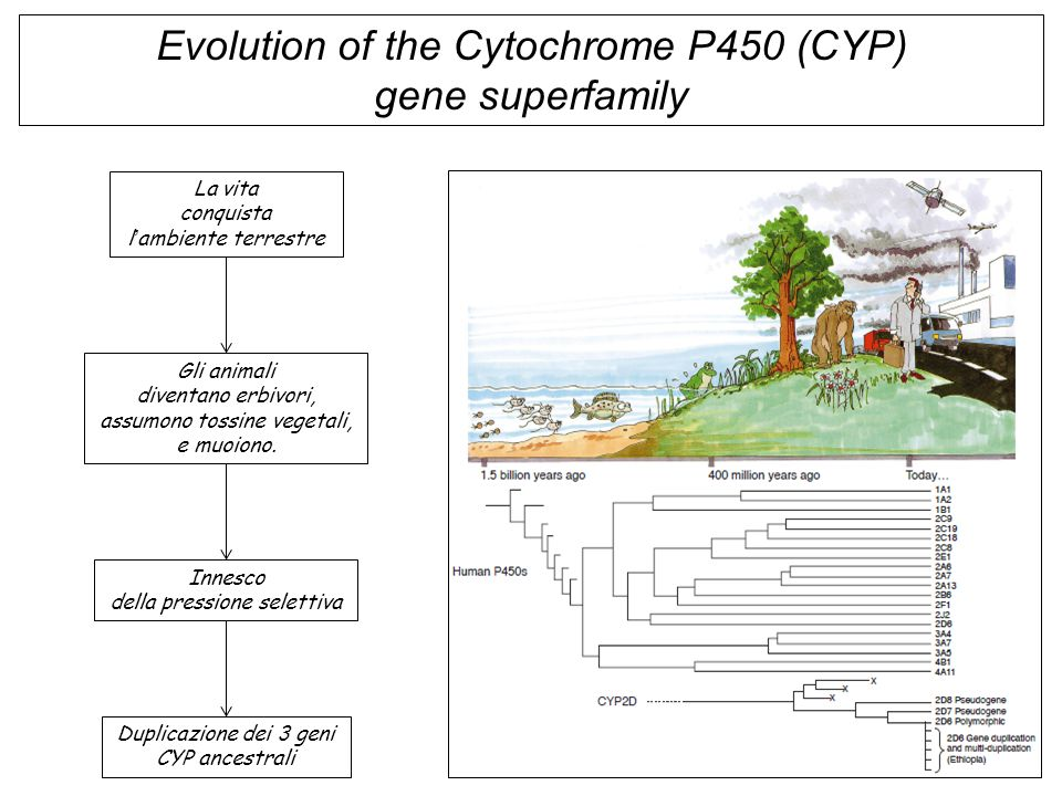 Evolution of the Cytochrome P450 (CYP) gene superfamily