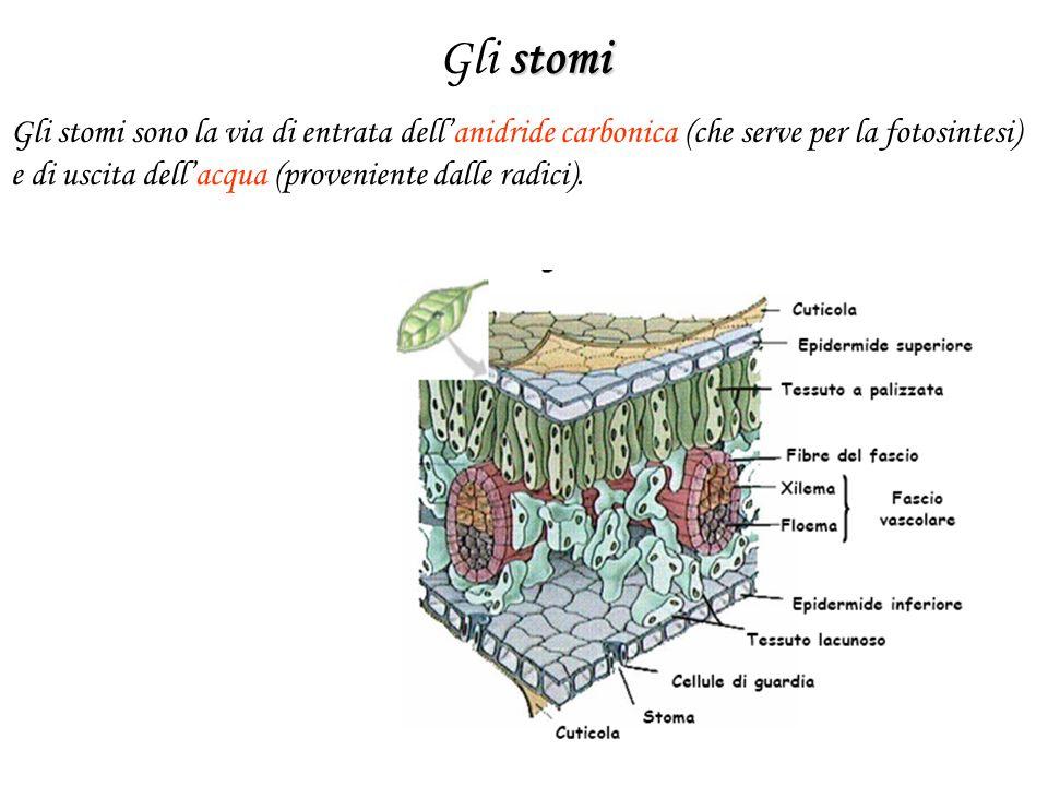 Gli stomi Gli stomi sono la via di entrata dell'anidride carbonica (che serve per la fotosintesi) e di uscita dell'acqua (proveniente dalle radici).