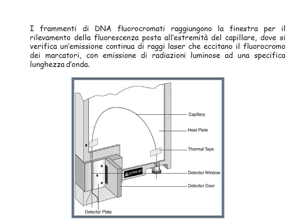 I frammenti di DNA fluorocromati raggiungono la finestra per il rilevamento della fluorescenza posta all'estremità del capillare, dove si verifica un'emissione continua di raggi laser che eccitano il fluorocromo dei marcatori, con emissione di radiazioni luminose ad una specifica lunghezza d'onda.
