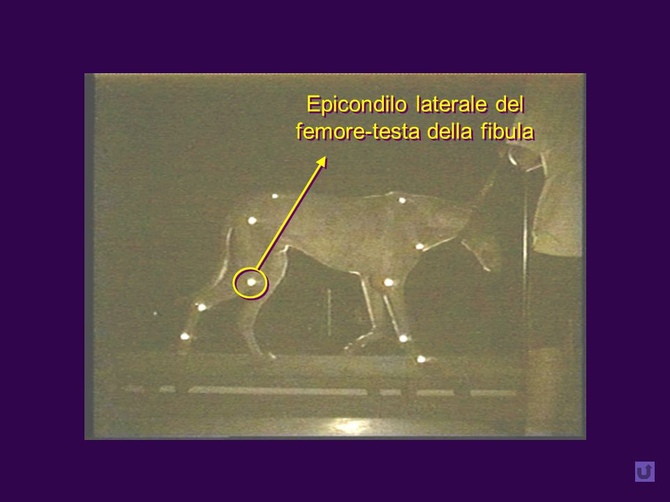 Epicondilo laterale del femore-testa della fibula