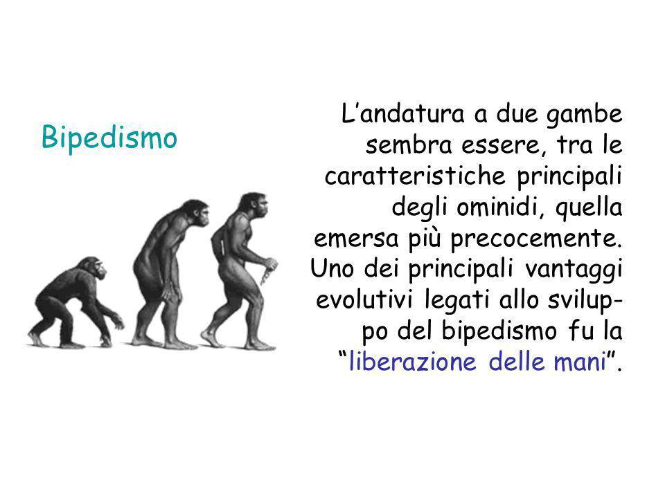 L'andatura a due gambe sembra essere, tra le caratteristiche principali degli ominidi, quella emersa più precocemente. Uno dei principali vantaggi evolutivi legati allo svilup-po del bipedismo fu la liberazione delle mani .
