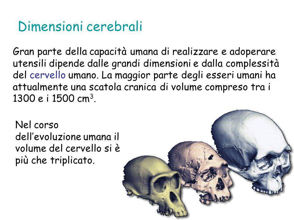Dimensioni cerebrali