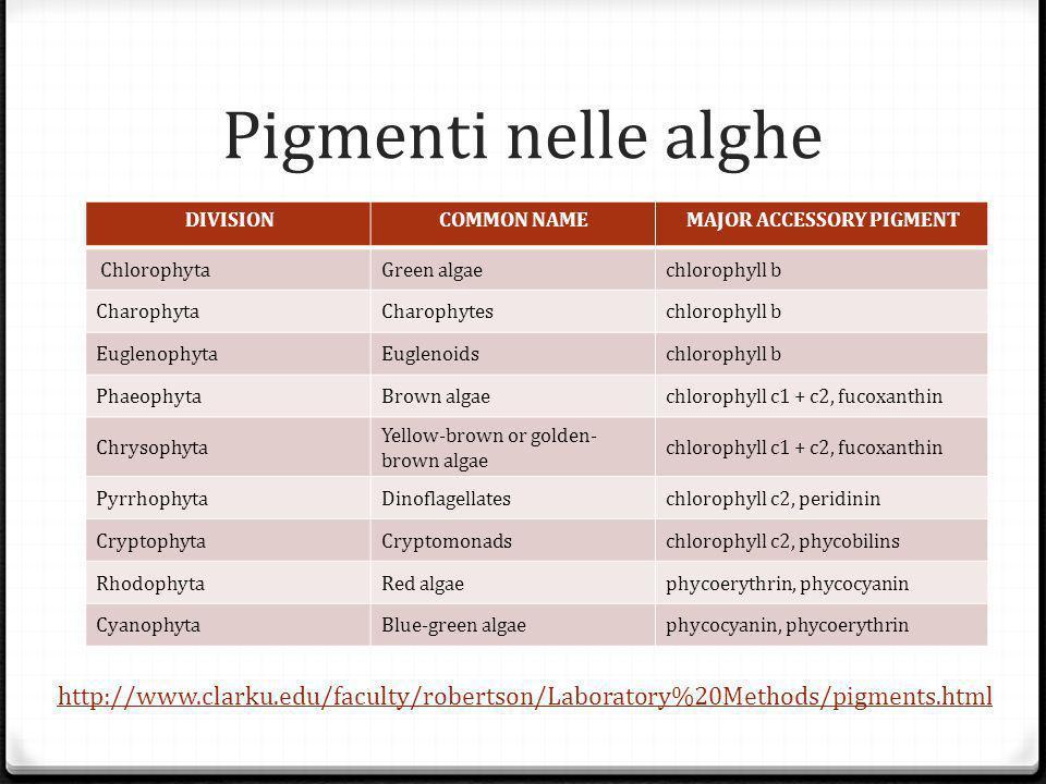 Pigmenti nelle alghe DIVISION. COMMON NAME. MAJOR ACCESSORY PIGMENT. Chlorophyta. Green algae.