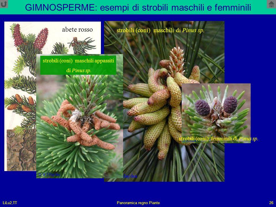 GIMNOSPERME: esempi di strobili maschili e femminili