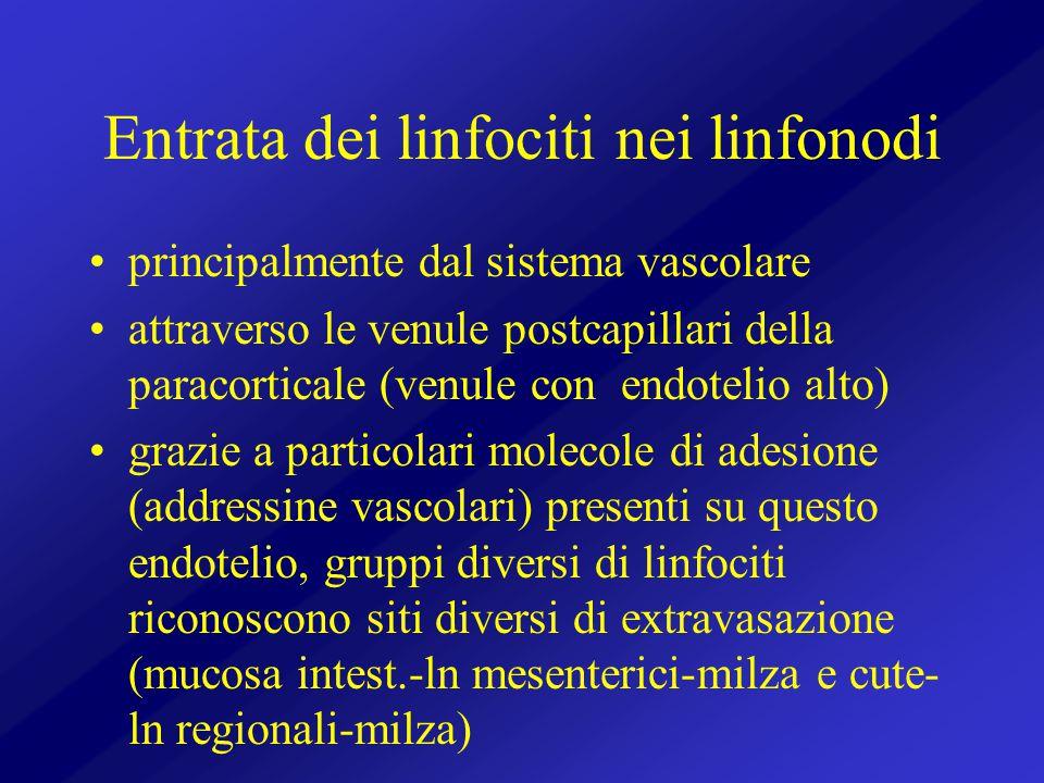 Entrata dei linfociti nei linfonodi