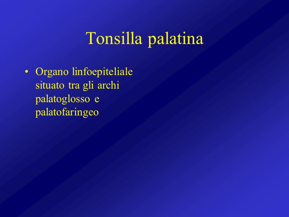 Tonsilla palatina Organo linfoepiteliale situato tra gli archi palatoglosso e palatofaringeo