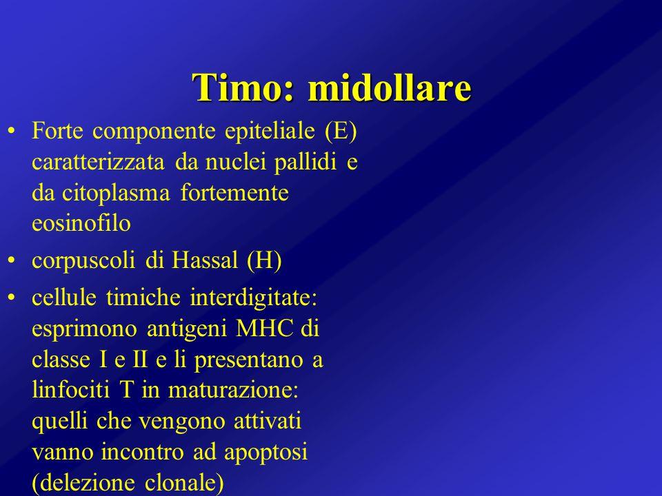 Timo: midollare Forte componente epiteliale (E) caratterizzata da nuclei pallidi e da citoplasma fortemente eosinofilo.