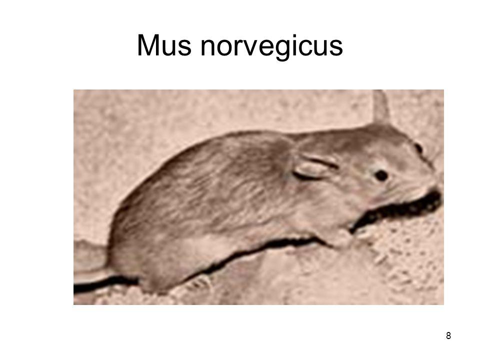 Mus norvegicus