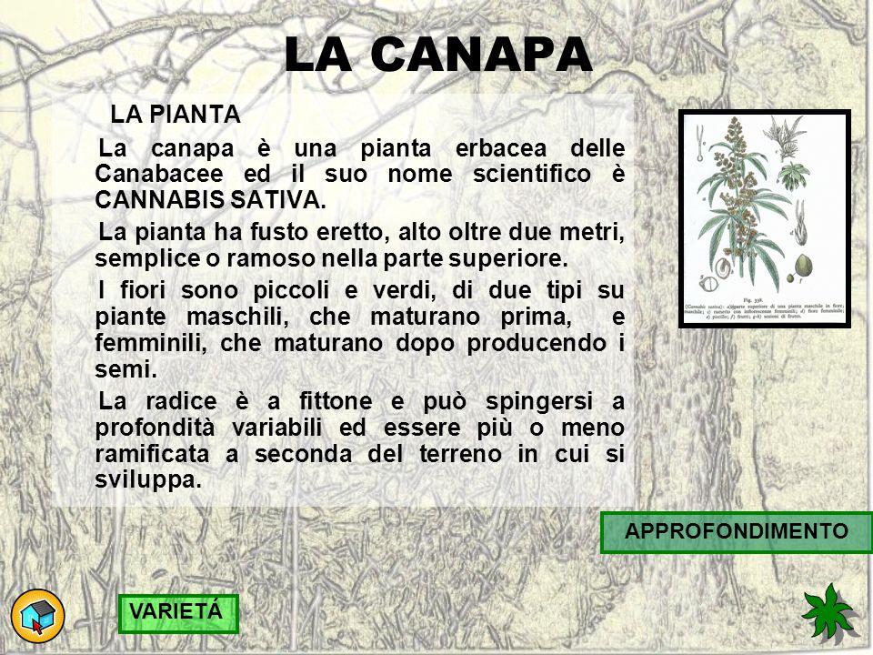 LA CANAPA LA PIANTA. La canapa è una pianta erbacea delle Canabacee ed il suo nome scientifico è CANNABIS SATIVA.