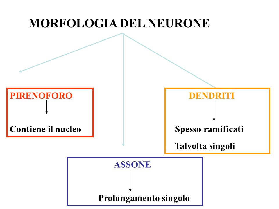MORFOLOGIA DEL NEURONE