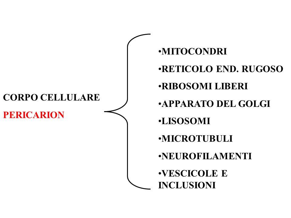 MITOCONDRI RETICOLO END. RUGOSO. RIBOSOMI LIBERI. APPARATO DEL GOLGI. LISOSOMI. MICROTUBULI. NEUROFILAMENTI.