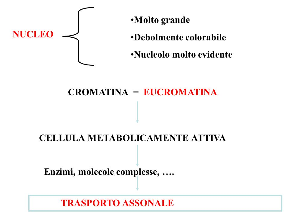 Molto grande Debolmente colorabile. Nucleolo molto evidente. NUCLEO. CROMATINA = EUCROMATINA. CELLULA METABOLICAMENTE ATTIVA.