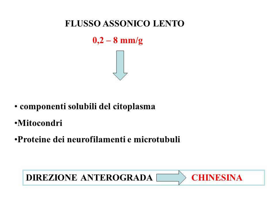 FLUSSO ASSONICO LENTO 0,2 – 8 mm/g. componenti solubili del citoplasma. Mitocondri. Proteine dei neurofilamenti e microtubuli.