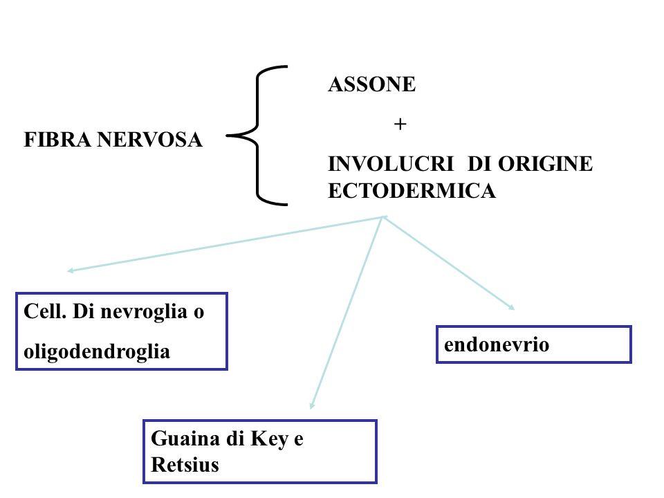 ASSONE + INVOLUCRI DI ORIGINE ECTODERMICA. FIBRA NERVOSA. Cell. Di nevroglia o. oligodendroglia.