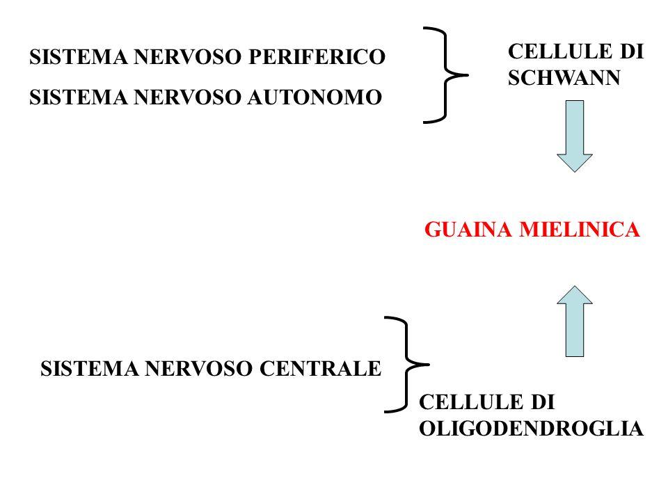 CELLULE DI SCHWANN SISTEMA NERVOSO PERIFERICO. SISTEMA NERVOSO AUTONOMO. GUAINA MIELINICA. SISTEMA NERVOSO CENTRALE.