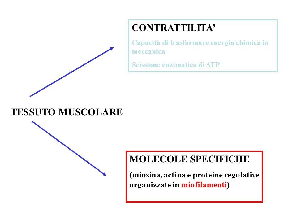 CONTRATTILITA' TESSUTO MUSCOLARE MOLECOLE SPECIFICHE
