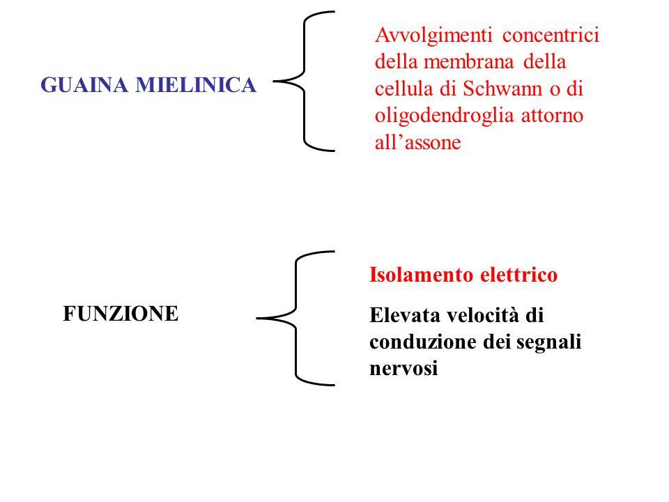 Avvolgimenti concentrici della membrana della cellula di Schwann o di oligodendroglia attorno all'assone