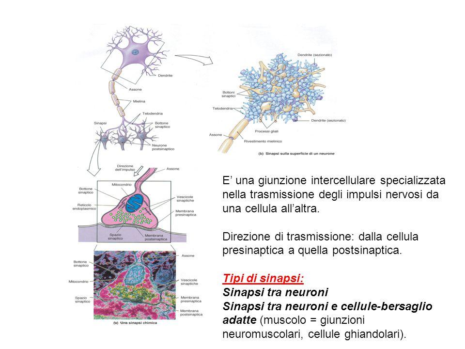 E' una giunzione intercellulare specializzata nella trasmissione degli impulsi nervosi da una cellula all'altra.