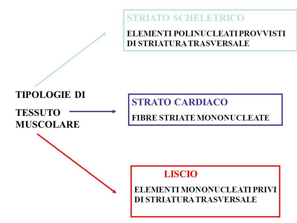 STRIATO SCHELETRICO TIPOLOGIE DI TESSUTO MUSCOLARE STRATO CARDIACO