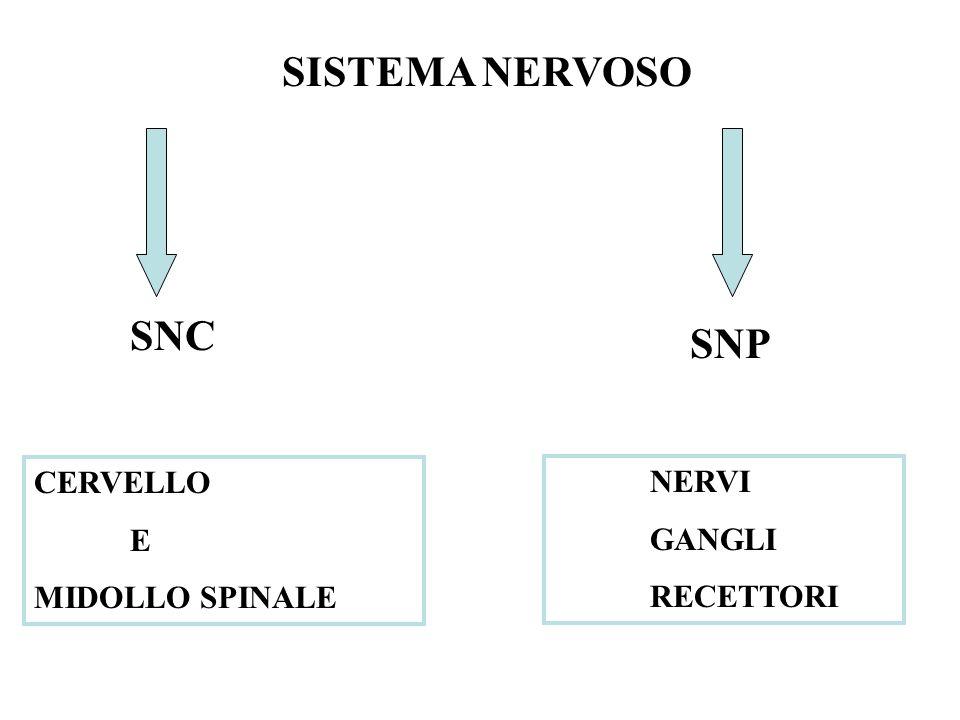 SISTEMA NERVOSO SNC SNP CERVELLO NERVI E GANGLI MIDOLLO SPINALE
