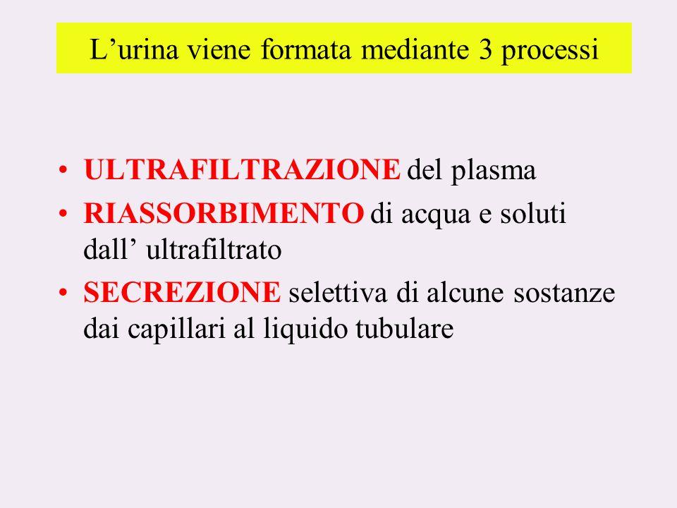 L'urina viene formata mediante 3 processi