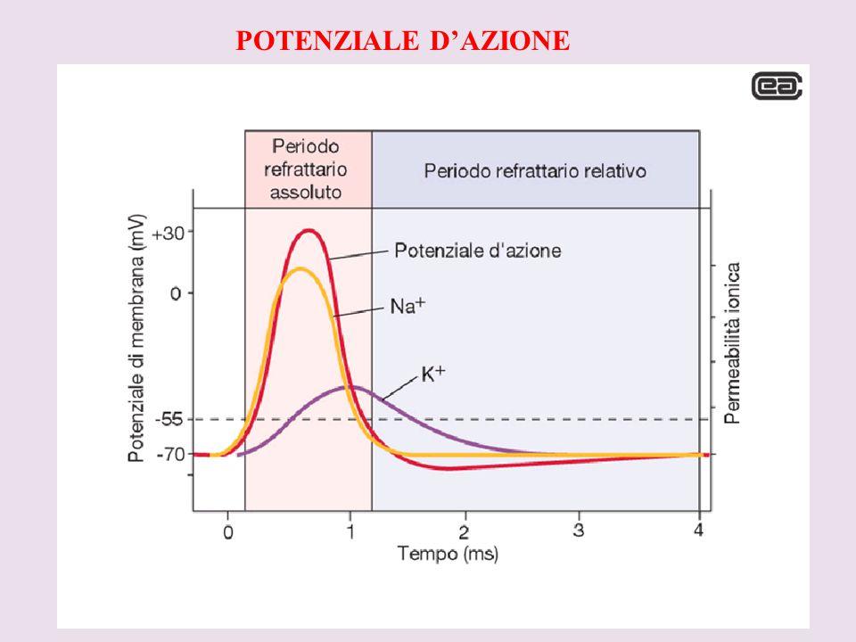 POTENZIALE D'AZIONE V. Concetto di CELLALA ECCITABILE