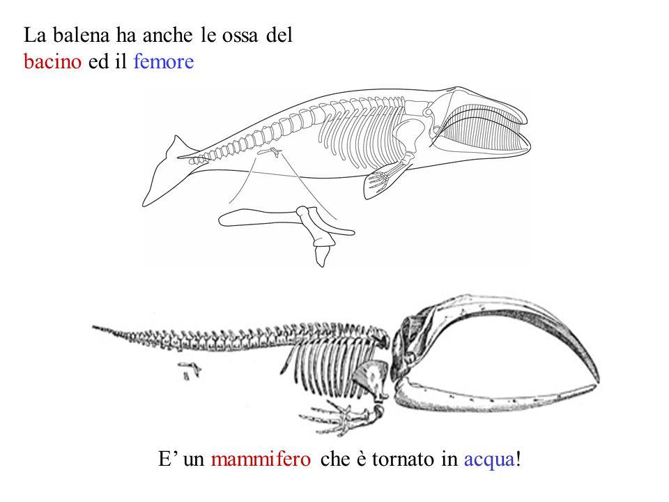 E' un mammifero che è tornato in acqua!