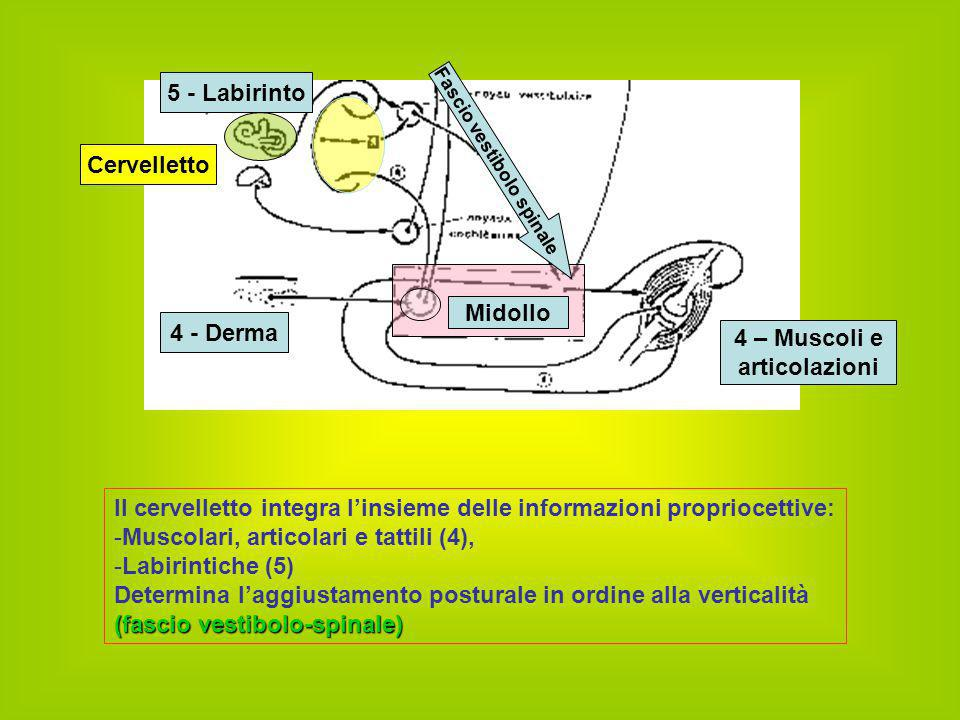 Fascio vestibolo spinale