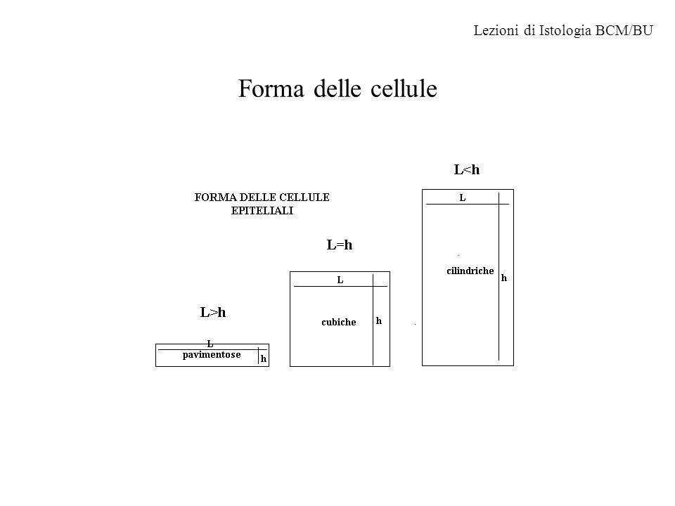 Lezioni di Istologia BCM/BU