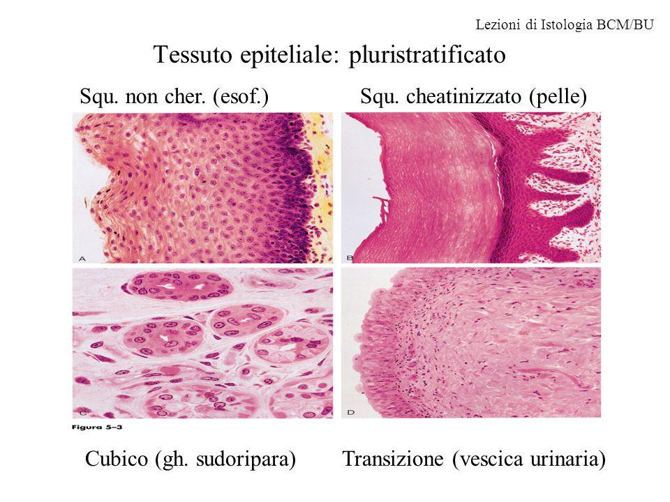Tessuto epiteliale: pluristratificato