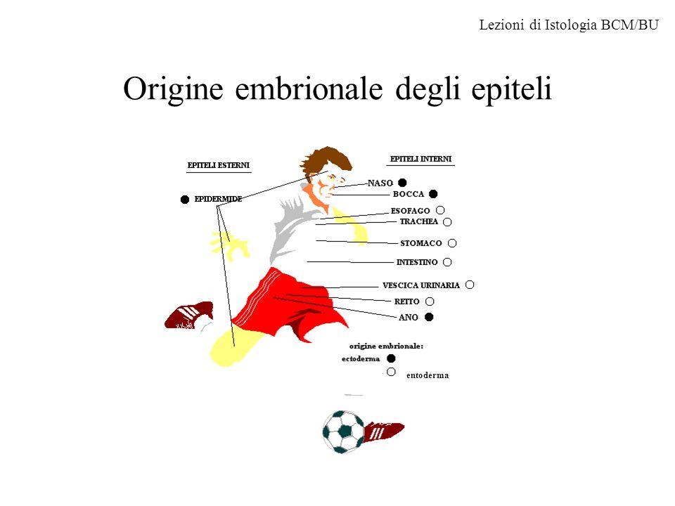 Origine embrionale degli epiteli