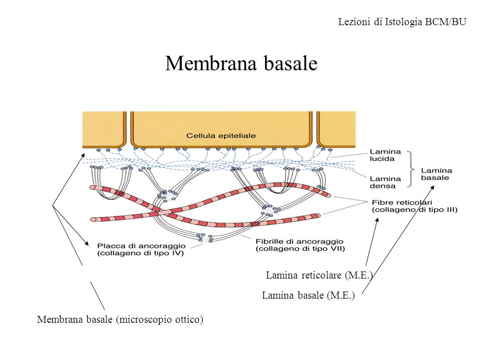 Membrana basale Lezioni di Istologia BCM/BU Lamina reticolare (M.E.)