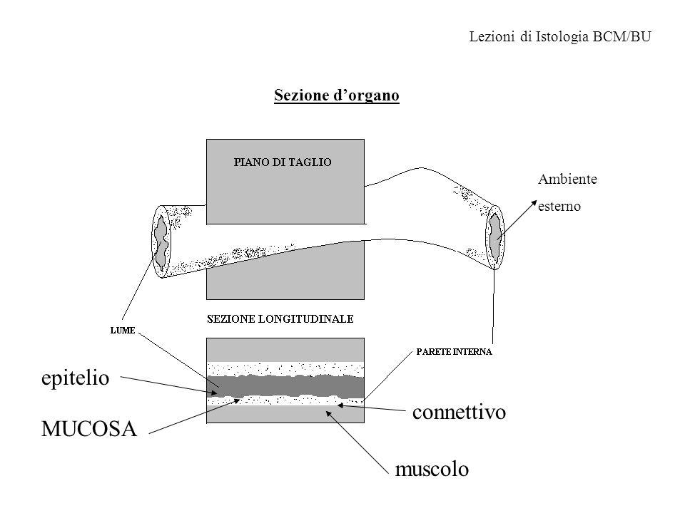 epitelio connettivo MUCOSA muscolo Sezione d'organo