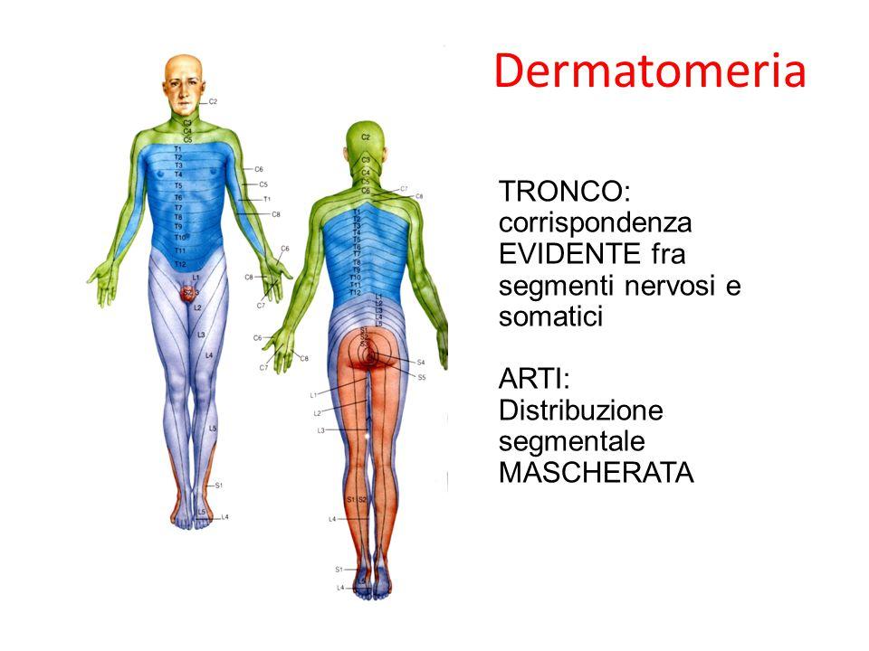 Dermatomeria TRONCO: corrispondenza EVIDENTE fra segmenti nervosi e somatici.