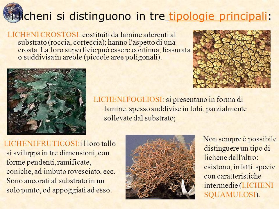 i licheni si distinguono in tre tipologie principali: