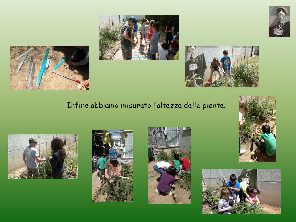 Infine abbiamo misurato l'altezza delle piante.