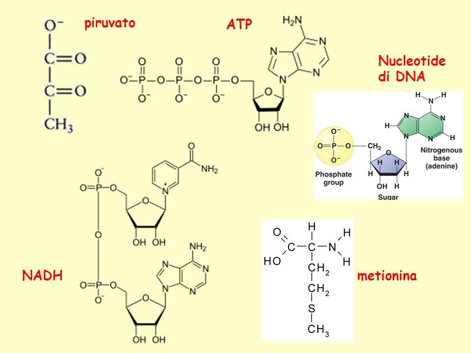 piruvato ATP Nucleotide di DNA NADH metionina