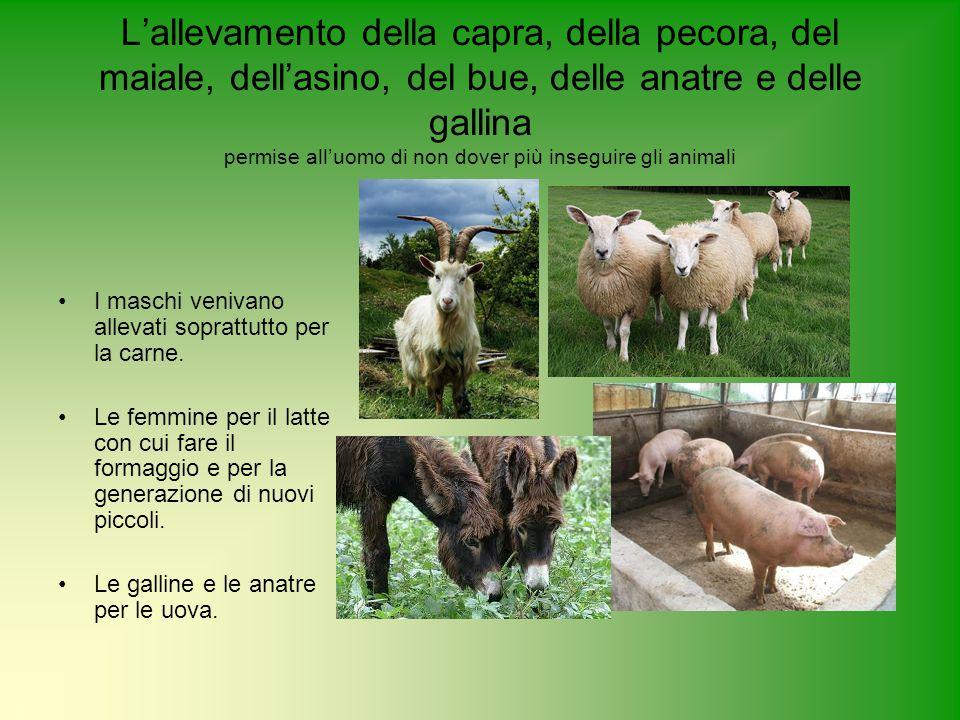 L'allevamento della capra, della pecora, del maiale, dell'asino, del bue, delle anatre e delle gallina permise all'uomo di non dover più inseguire gli animali
