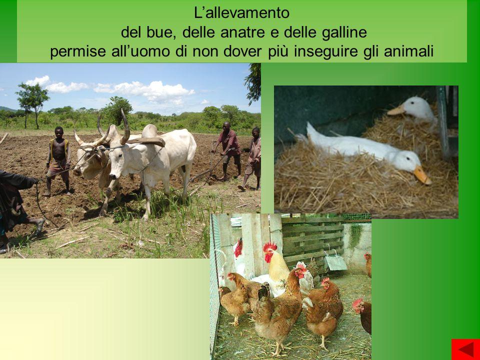 L'allevamento del bue, delle anatre e delle galline