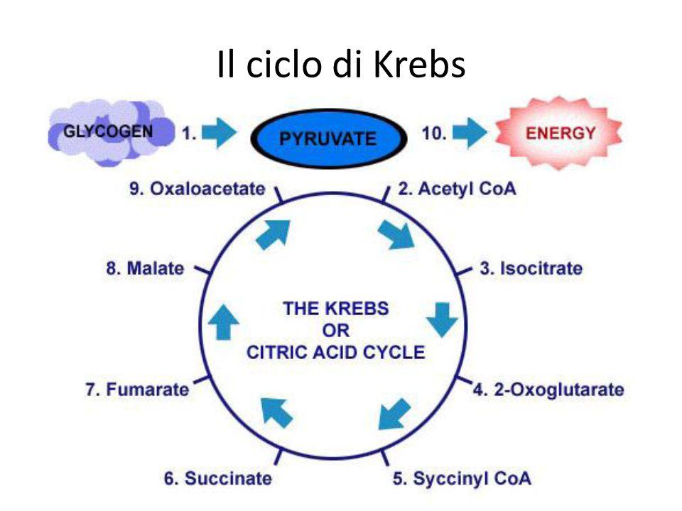 Il ciclo di Krebs