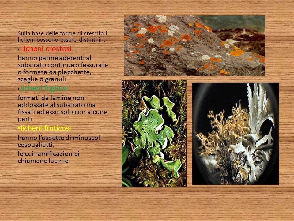Sulla base delle forme di crescita i licheni possono essere distinti in: