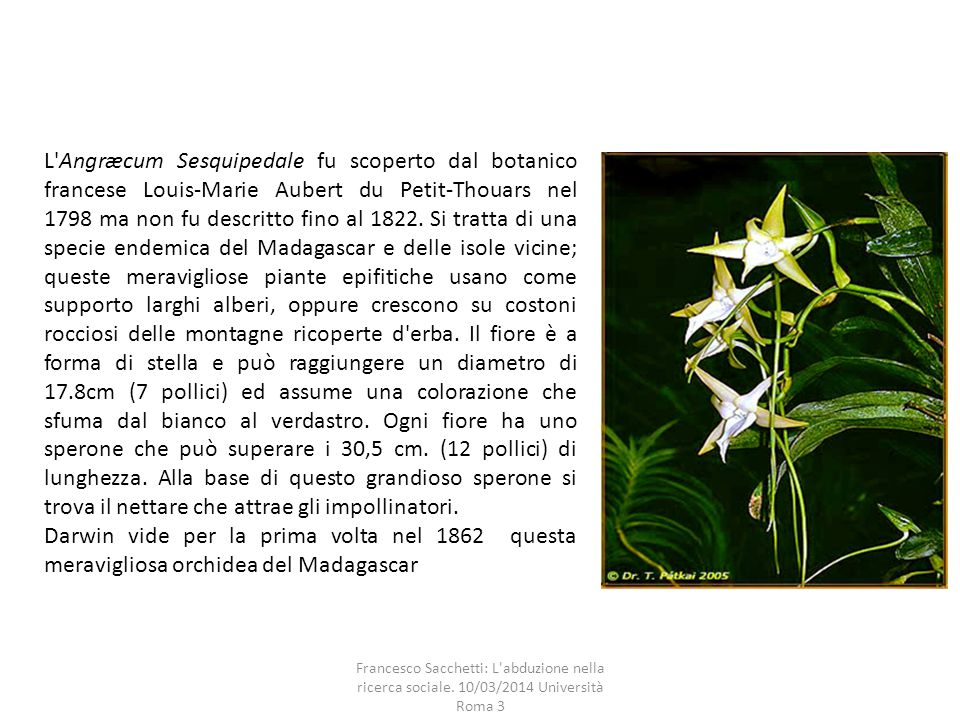 L Angræcum Sesquipedale fu scoperto dal botanico francese Louis-Marie Aubert du Petit-Thouars nel 1798 ma non fu descritto fino al 1822. Si tratta di una specie endemica del Madagascar e delle isole vicine; queste meravigliose piante epifitiche usano come supporto larghi alberi, oppure crescono su costoni rocciosi delle montagne ricoperte d erba. Il fiore è a forma di stella e può raggiungere un diametro di 17.8cm (7 pollici) ed assume una colorazione che sfuma dal bianco al verdastro. Ogni fiore ha uno sperone che può superare i 30,5 cm. (12 pollici) di lunghezza. Alla base di questo grandioso sperone si trova il nettare che attrae gli impollinatori.