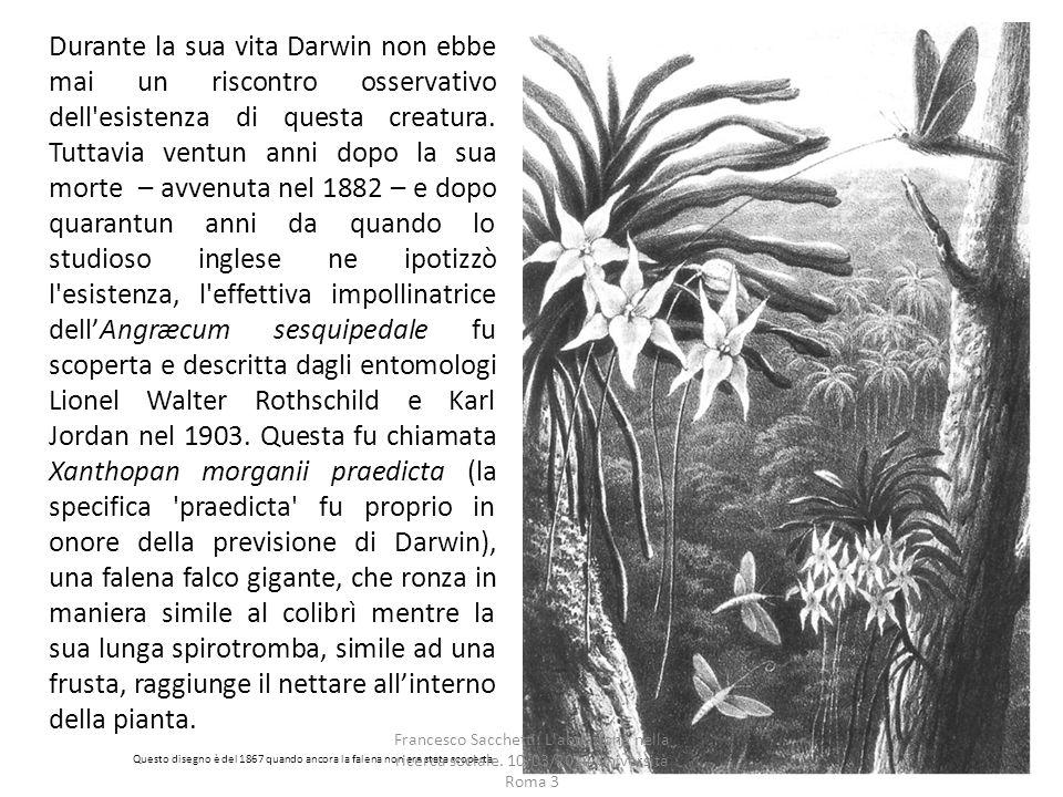 Durante la sua vita Darwin non ebbe mai un riscontro osservativo dell esistenza di questa creatura. Tuttavia ventun anni dopo la sua morte – avvenuta nel 1882 – e dopo quarantun anni da quando lo studioso inglese ne ipotizzò l esistenza, l effettiva impollinatrice dell'Angræcum sesquipedale fu scoperta e descritta dagli entomologi Lionel Walter Rothschild e Karl Jordan nel 1903. Questa fu chiamata Xanthopan morganii praedicta (la specifica praedicta fu proprio in onore della previsione di Darwin), una falena falco gigante, che ronza in maniera simile al colibrì mentre la sua lunga spirotromba, simile ad una frusta, raggiunge il nettare all'interno della pianta.