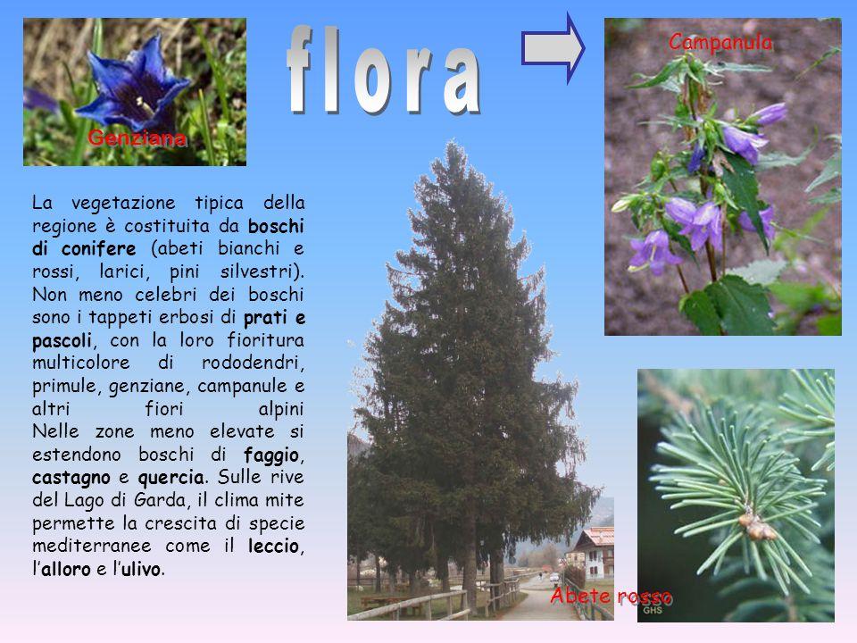 flora Campanula Genziana Abete rosso