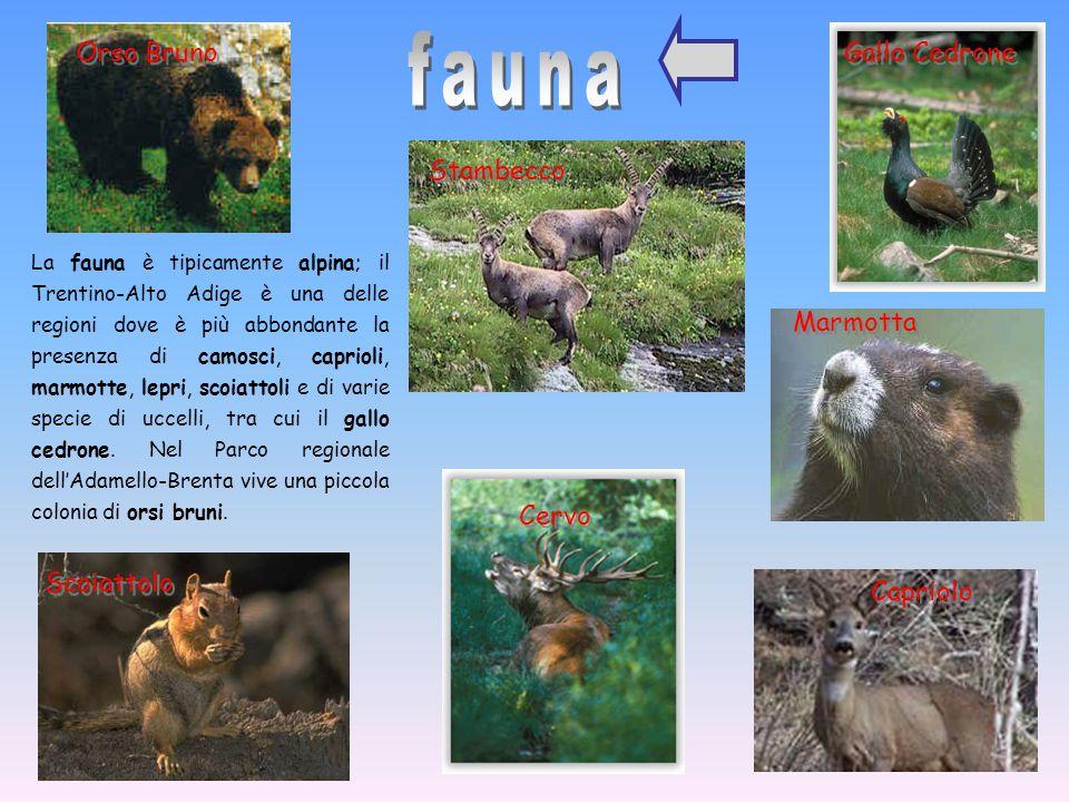fauna Orso Bruno Gallo Cedrone Stambecco Marmotta Cervo Scoiattolo
