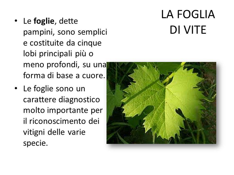 LA FOGLIA DI VITE Le foglie, dette pampini, sono semplici e costituite da cinque lobi principali più o meno profondi, su una forma di base a cuore.