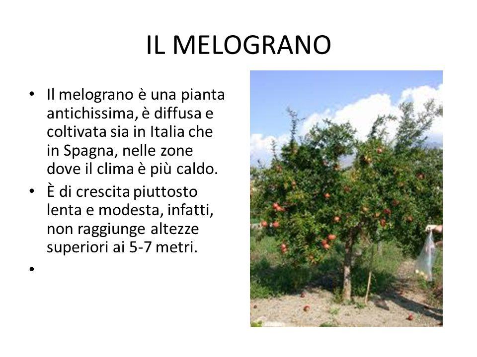 IL MELOGRANO Il melograno è una pianta antichissima, è diffusa e coltivata sia in Italia che in Spagna, nelle zone dove il clima è più caldo.