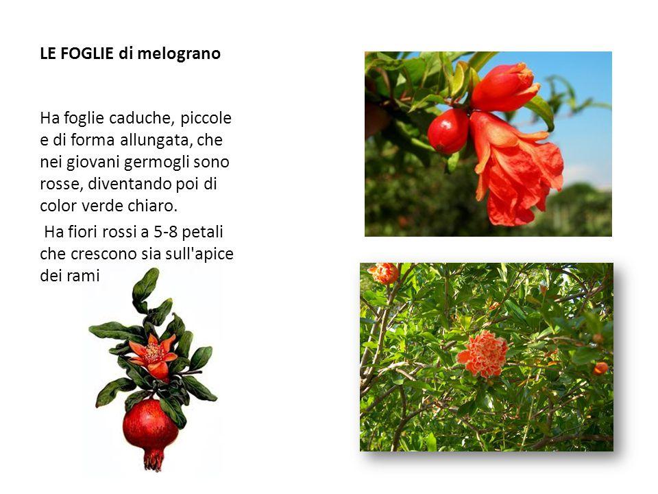 LE FOGLIE di melograno Ha foglie caduche, piccole e di forma allungata, che nei giovani germogli sono rosse, diventando poi di color verde chiaro.