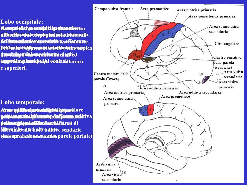 Lobo occipitale: Lobo temporale: Area visiva primaria: granulare con